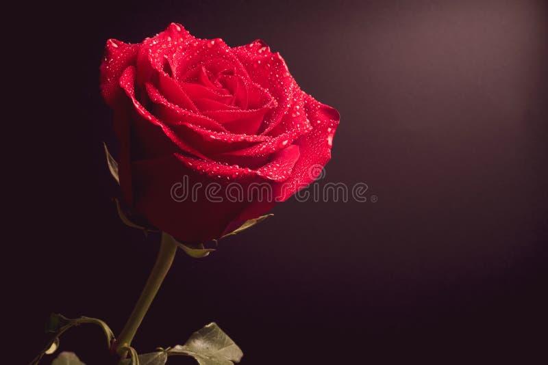 Flor de Rosa no fundo escuro, na gota da água cor-de-rosa fotografia de stock royalty free