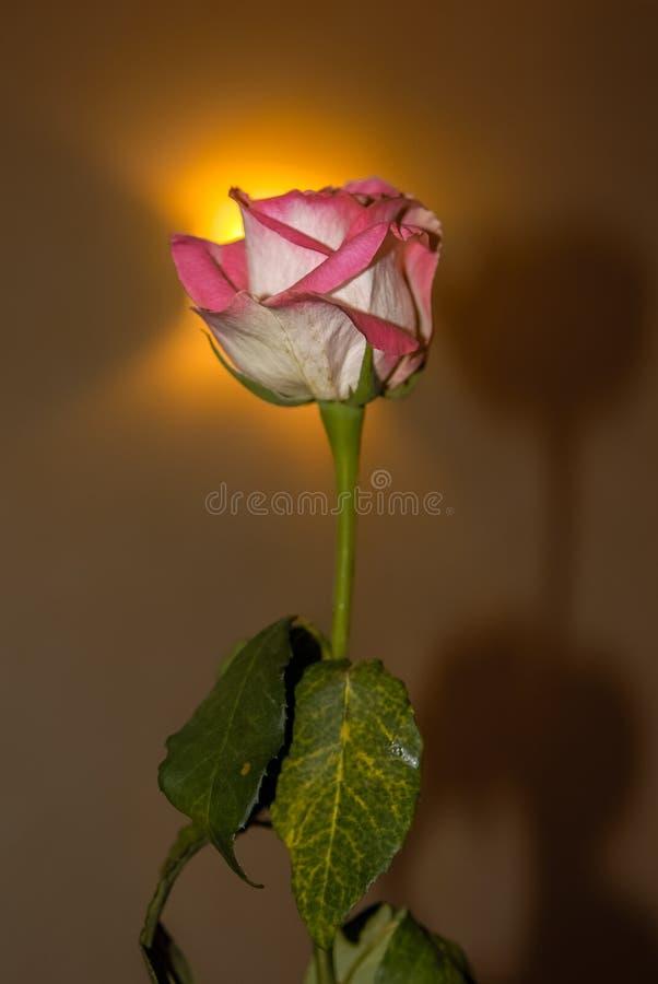 Flor de Rosa nos raios de luz do fundo fotografia de stock