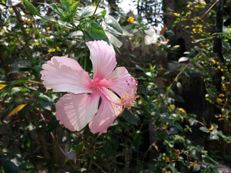 Flor de rosa-sinensis del hibisco China subió Shoeblackplant foto de archivo