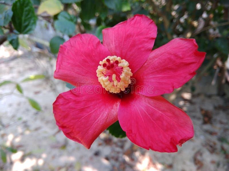 Flor de rosa-sinensis do hibiscus foto de stock royalty free