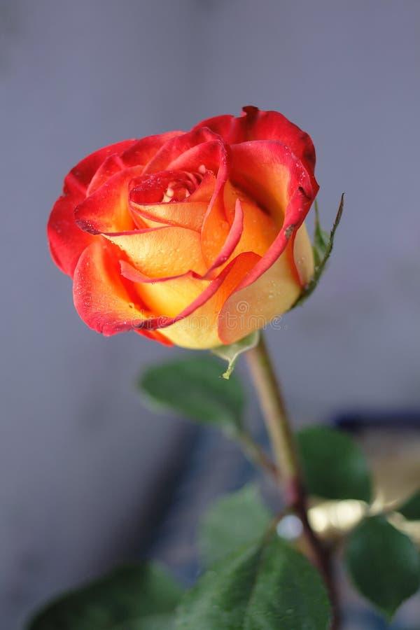 Flor de Rose imagen de archivo libre de regalías