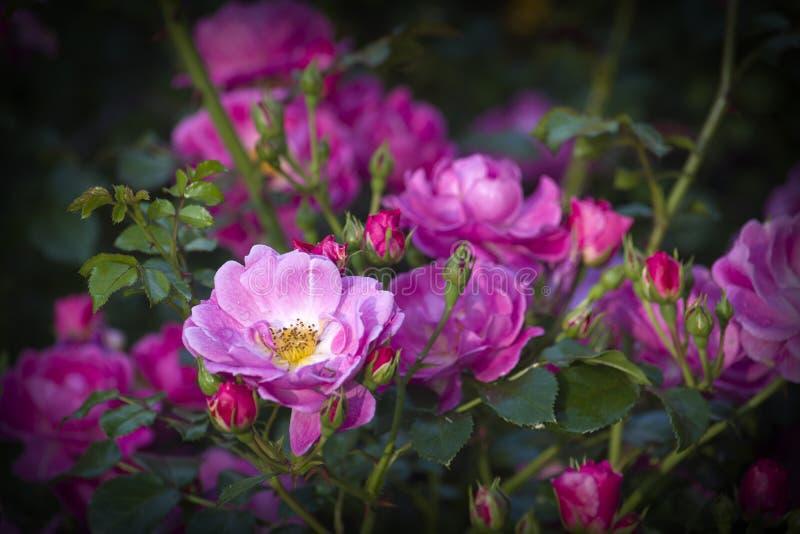 Flor de Rose Bush cor-de-rosa fotografia de stock