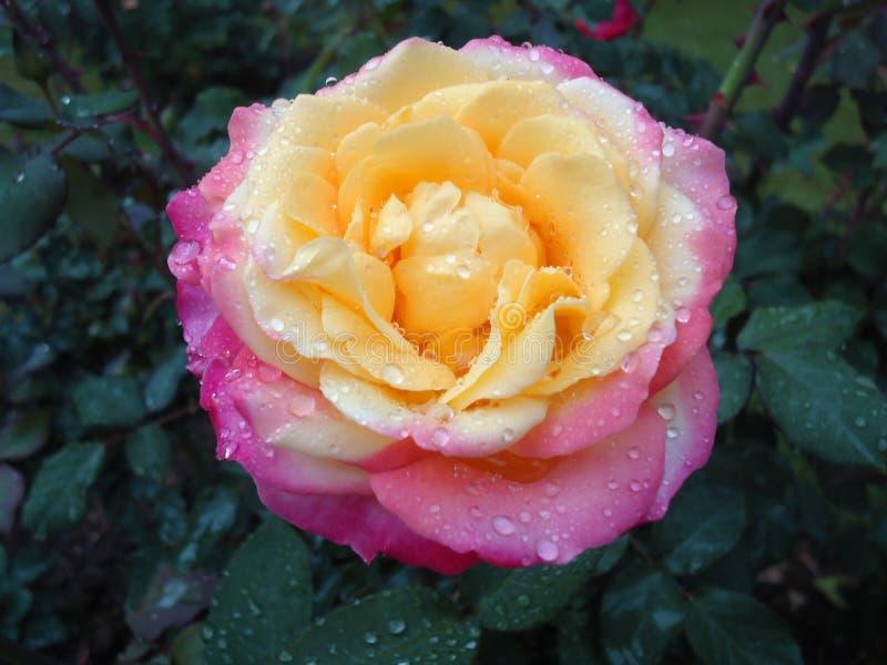 Flor de Rose con rocío imagen de archivo libre de regalías