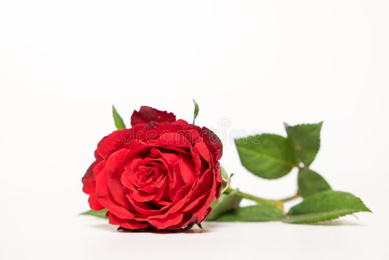 Flor de Rose en el fondo blanco imagenes de archivo