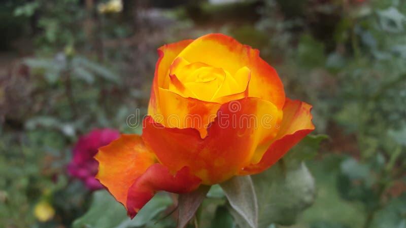 Flor de Rose en Sri Lanka fotografía de archivo libre de regalías