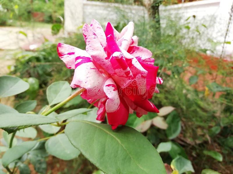 Flor de Rose en Sri Lanka imagen de archivo libre de regalías