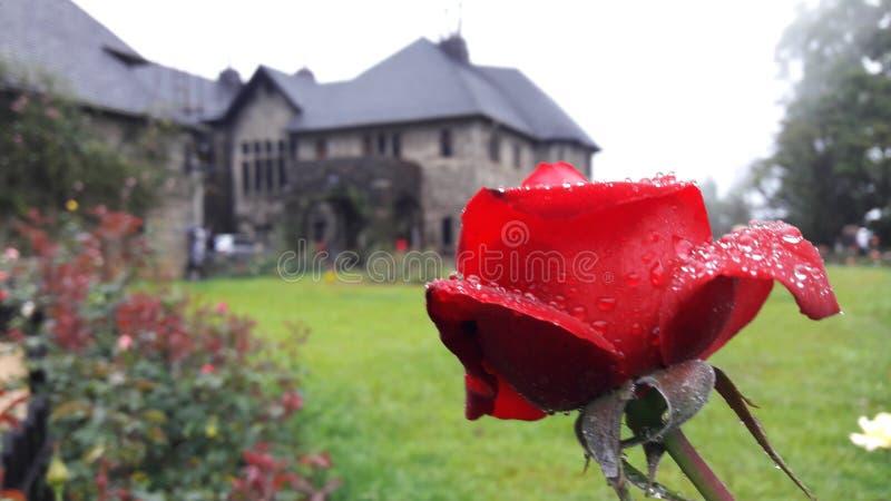 Flor de Rose roja en la casa de planta baja de Adisham fotos de archivo