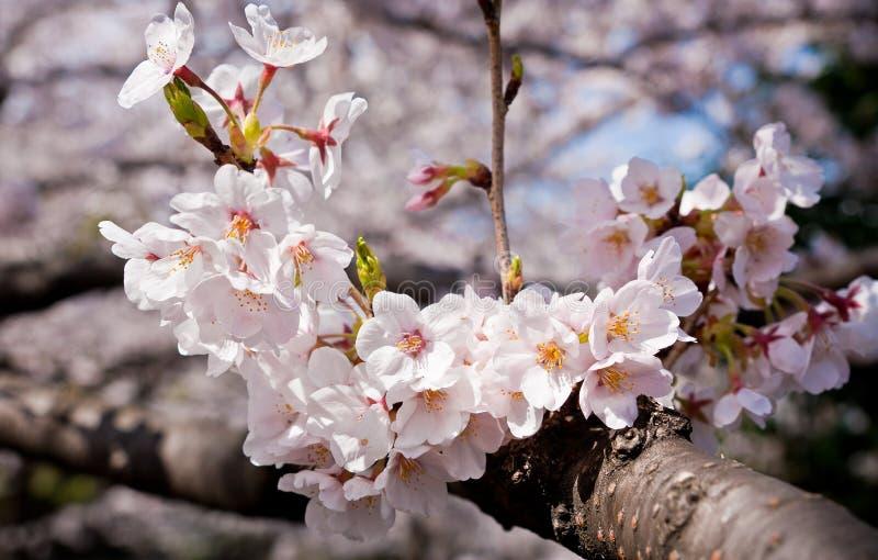 Flor de Sakura/cereja imagens de stock