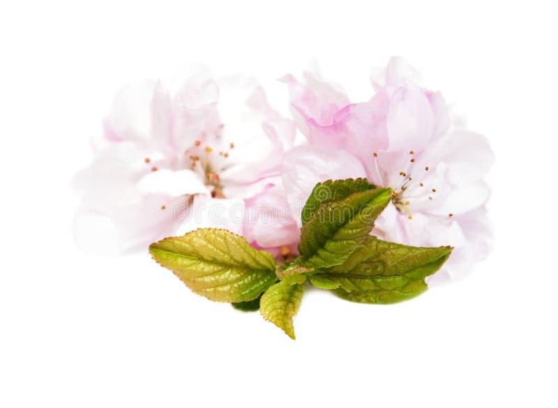 Flor de Sakura em um fundo branco imagens de stock royalty free