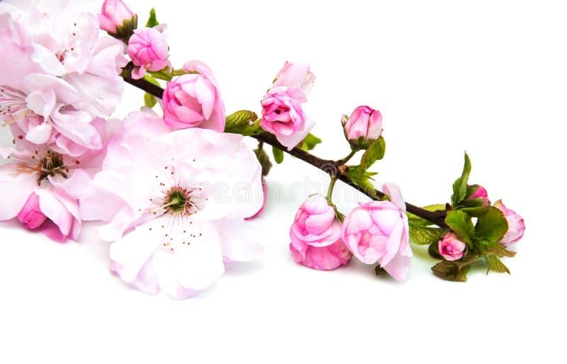 Flor de Sakura em um fundo branco fotografia de stock royalty free