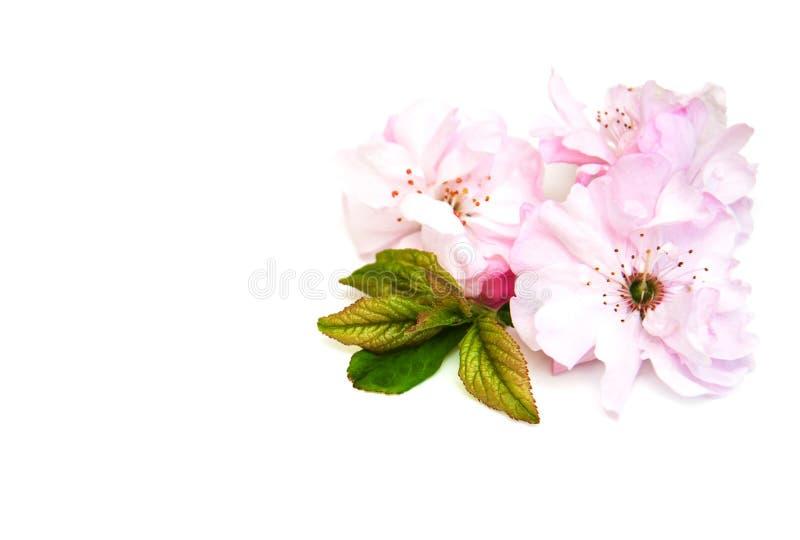 Flor de Sakura em um fundo branco foto de stock royalty free