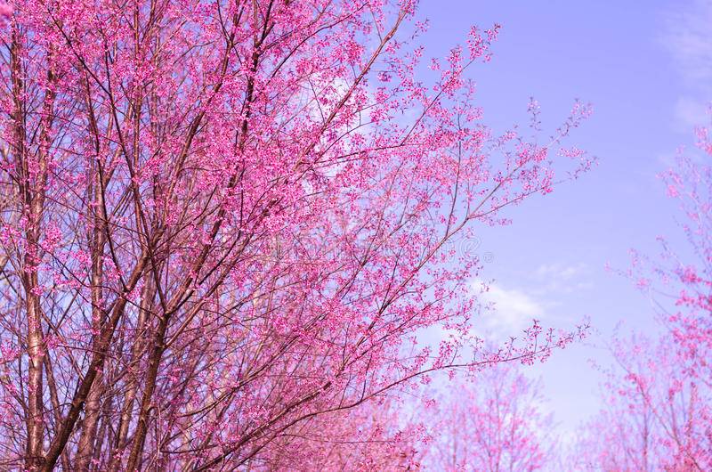 Flor de Sakura, flor rosada del flor del jerez imagen de archivo