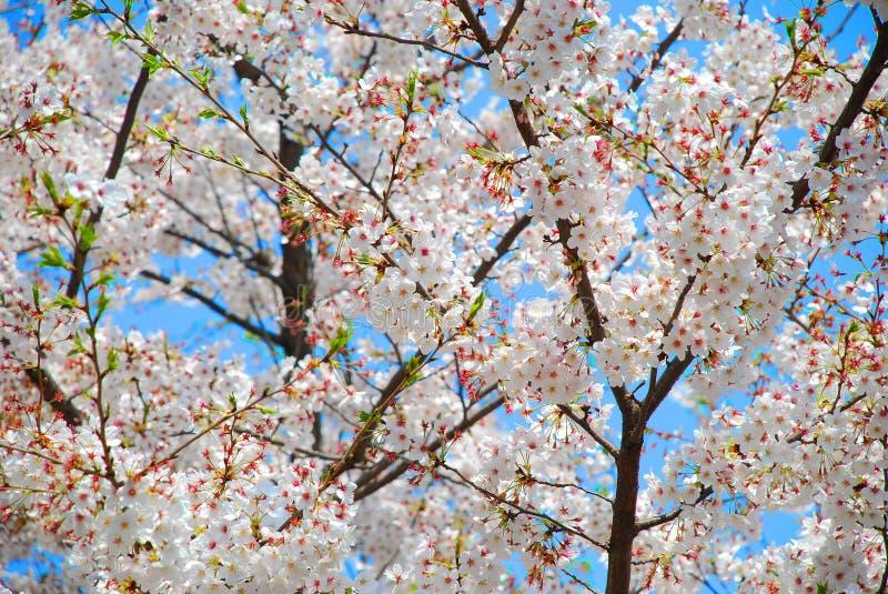 Flor de Sakura na mola imagens de stock royalty free