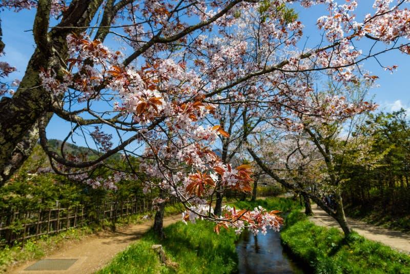 flor de sakura na vila de Oshino Hakkai imagens de stock royalty free