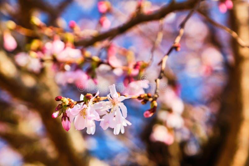 Flor de Sakura no ramo de árvore fotos de stock