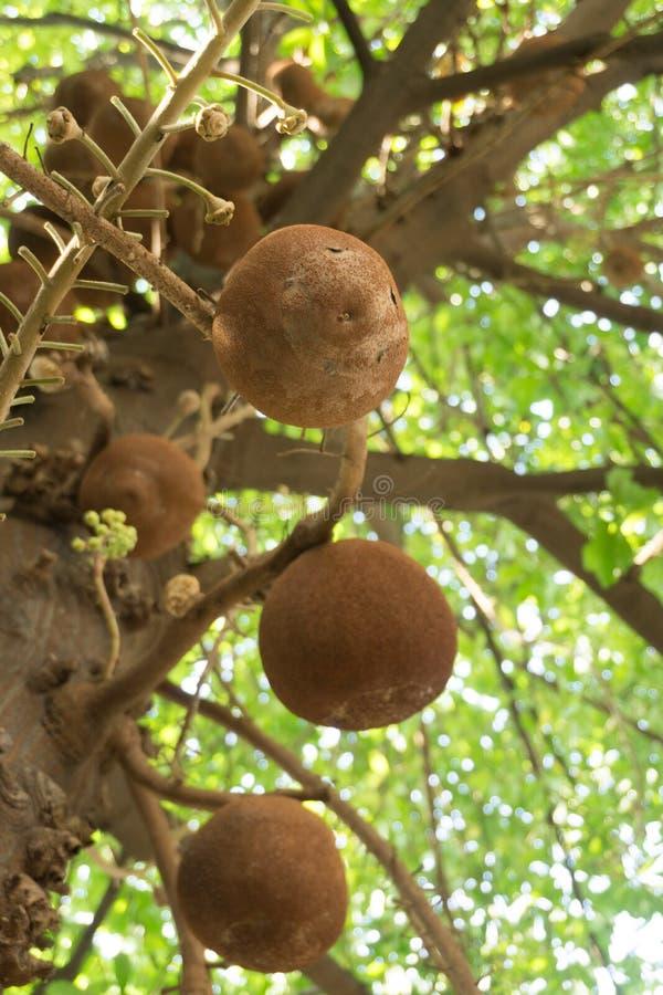 Flor de Sala en árbol de la bola de cañón foto de archivo