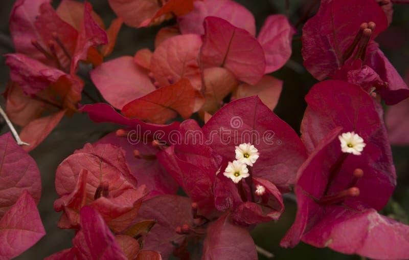 Flor de Santa Rita imagem de stock