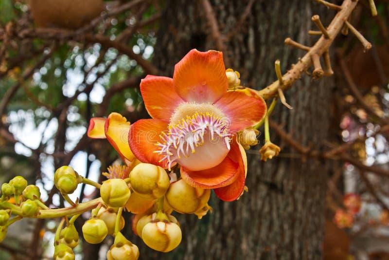 Flor de Sara Buddha fotografia de stock
