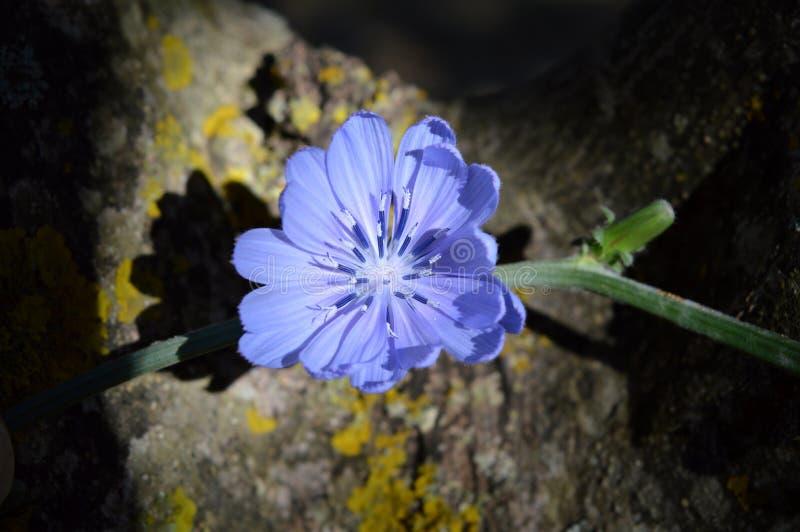 Flor de Sicília, close-up de uma flor comum bonita da chicória, natureza, macro imagem de stock