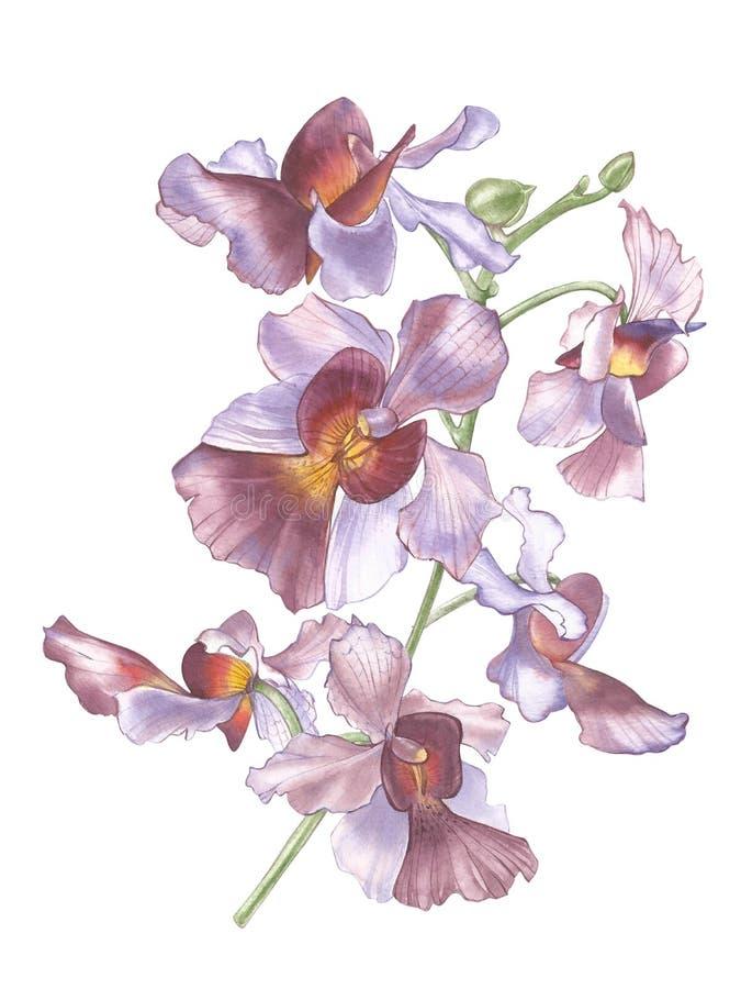 Flor de Singapur, ejemplo de Vanda Miss Joaquim Flowers La flor nacional de Singapur Mano de la acuarela dibujada stock de ilustración