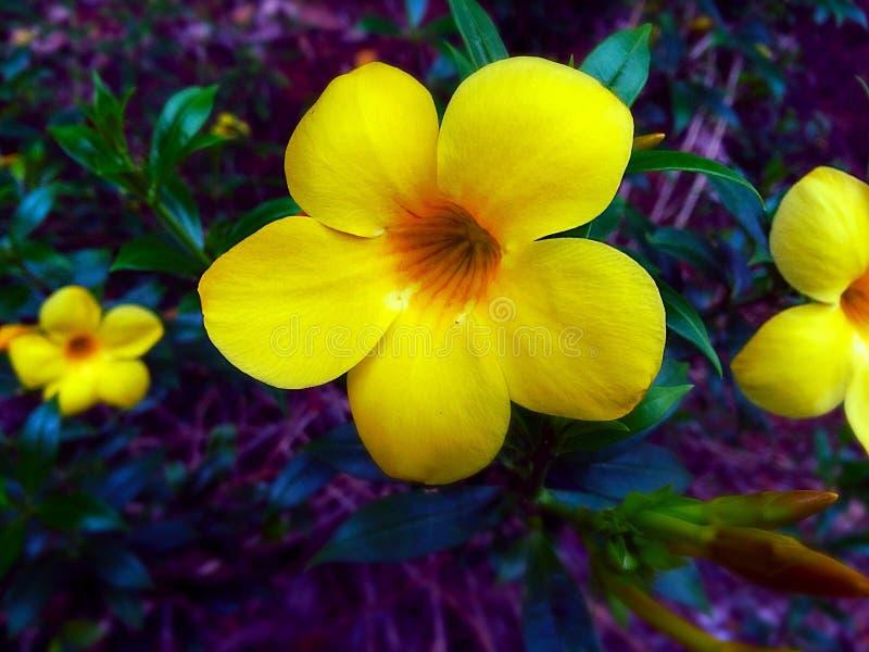 Flor de sino amarelo foto de stock royalty free
