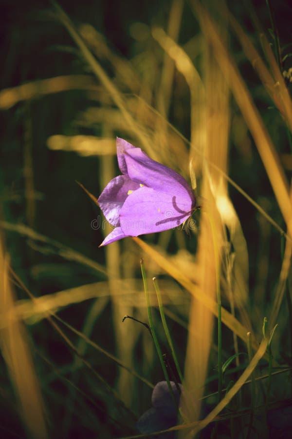 Flor de sino azul imagens de stock