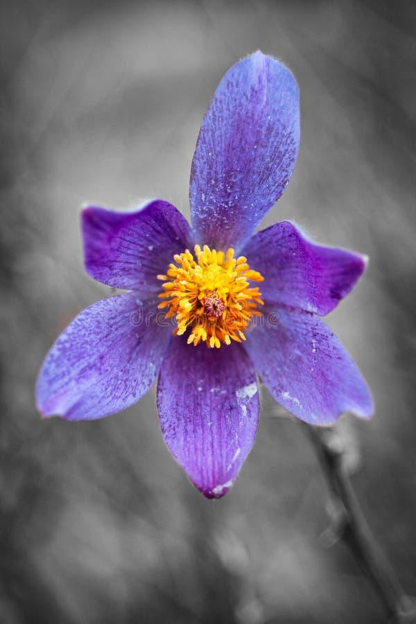 Flor de Snowdrop imagen de archivo