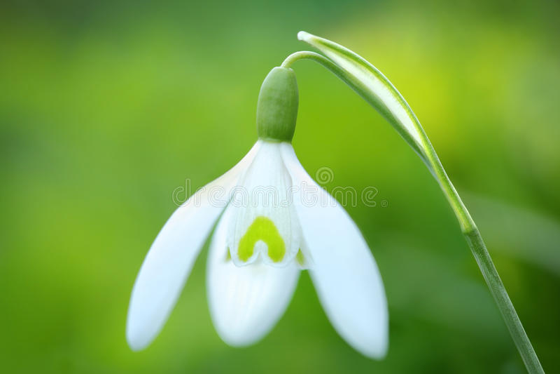 Flor de Snowdrop de la primavera fotografía de archivo