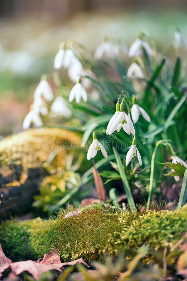 Flor de Snowdrop en el rocío de la mañana, foco suave fotografía de archivo
