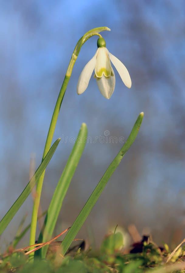 Flor de Snowdrop, nivalis del galanthus foto de archivo libre de regalías