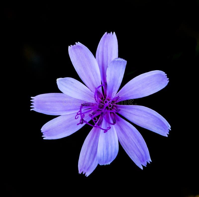 Flor de solo da chicória imagens de stock royalty free