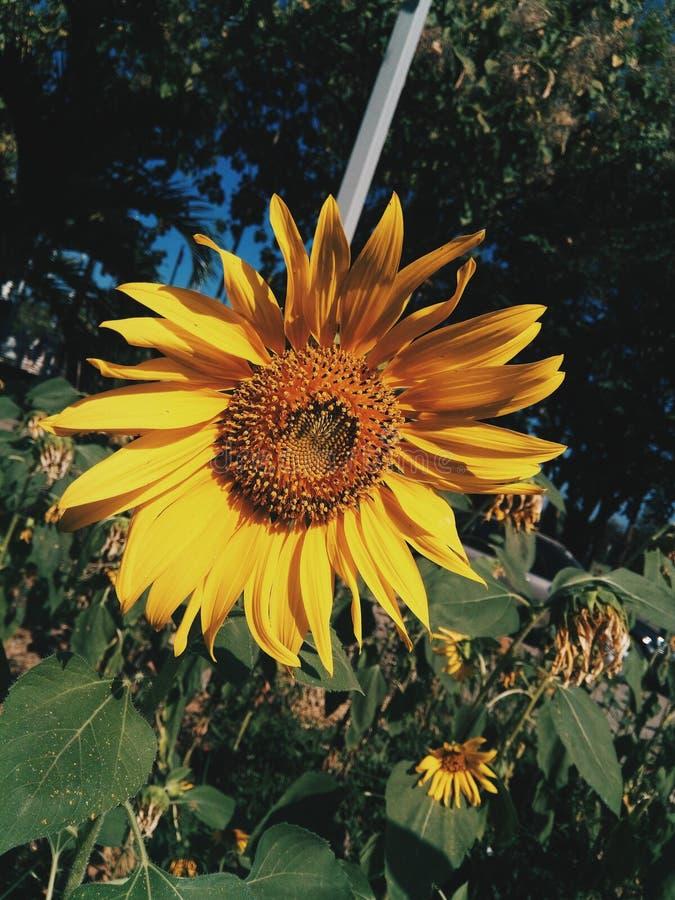 Flor de Sun fotos de stock