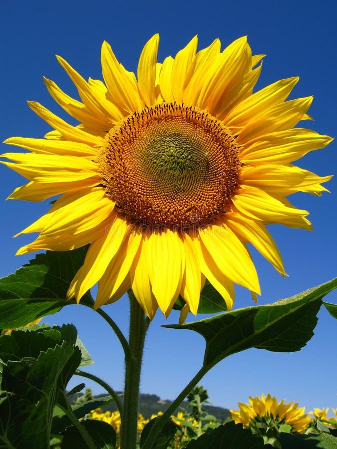 Flor de Sun imagens de stock