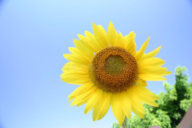 Flor de Sun fotos de stock royalty free