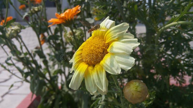 Flor de Sun foto de archivo
