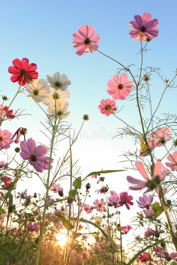 Flor de Sun com céu azul imagens de stock royalty free