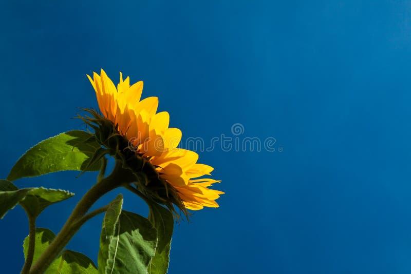 Flor de Sun de encontro a um céu azul fotografia de stock