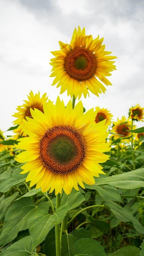 Flor de Sun del bebé que florece en un campo imagenes de archivo