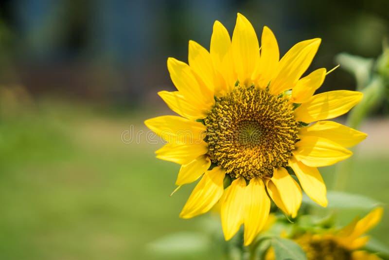 Flor de Sun en jardín fotografía de archivo