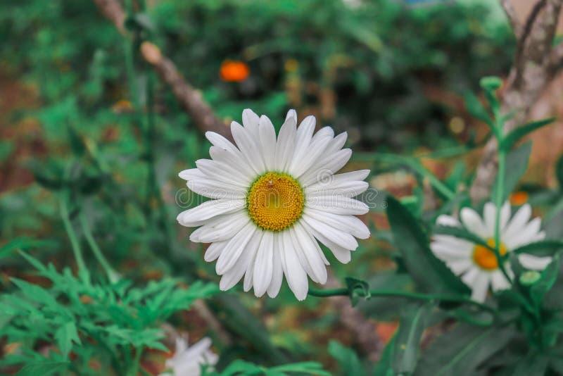 Flor de Sun en Sri Lanka fotos de archivo libres de regalías