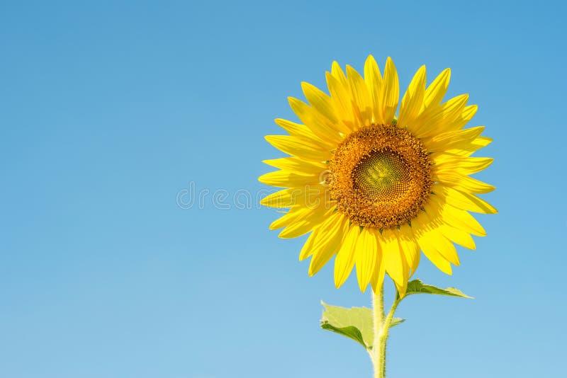 Flor de Sun no céu azul imagem de stock royalty free