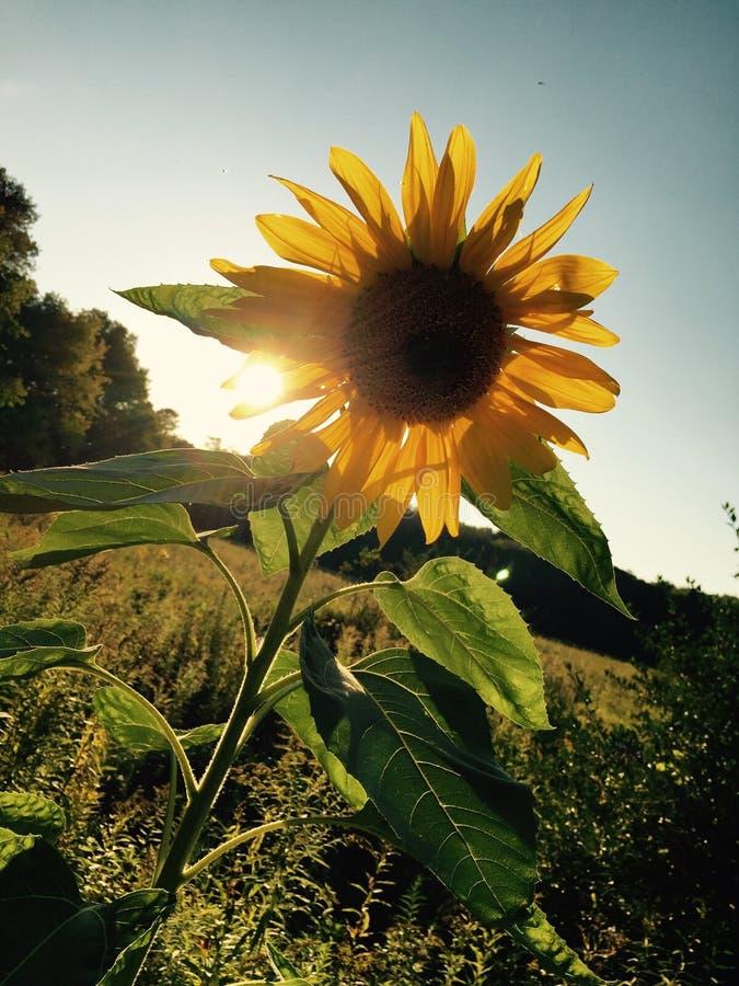 Flor de Sun no por do sol imagem de stock royalty free