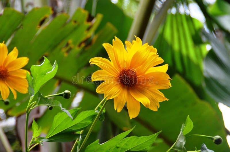 Flor de Sun para el papel pintado o el fondo imágenes de archivo libres de regalías