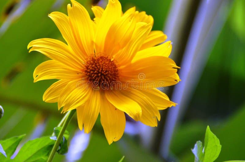 Flor de Sun para el papel pintado o el fondo fotos de archivo