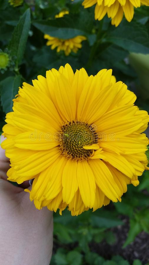 Flor de Sundrop imagem de stock
