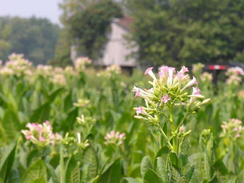 Flor de Tabacco foto de archivo libre de regalías