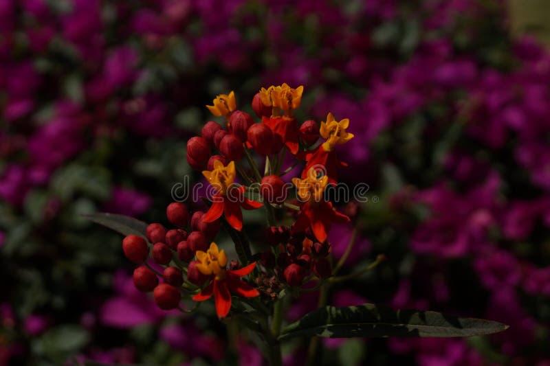 Flor de terciopelo increíble fotografía de archivo