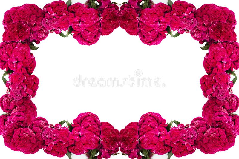Flor de Terciopelo o Celosia Flower frame, Mexican Flowers for offerings ofrendas in di­a de muertos Day of the Dead Mexican. Tradition Mexico stock images