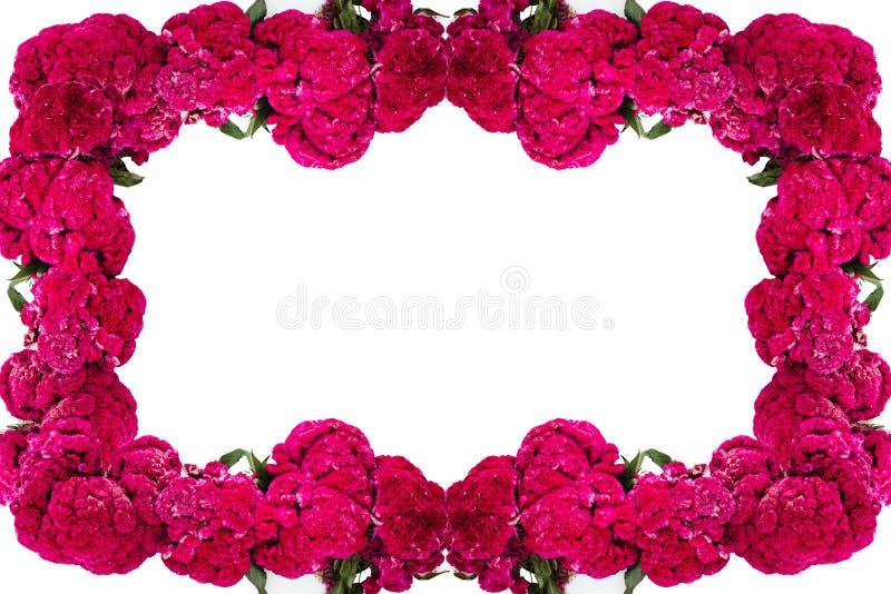 Flor de Terciopelo o o Celosia Flower frame, mexikanska blommor för erbjudanden av ofrendas i dia de muertos Day of the Dead mexi arkivbilder