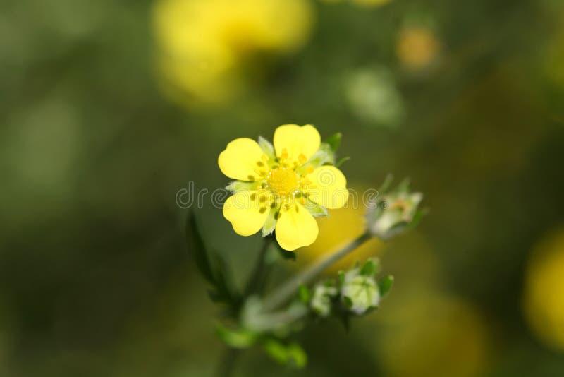 Flor de Tormentil imagens de stock